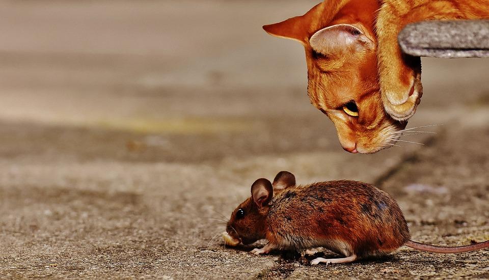 Qu'est-ce qui attire les rats ?